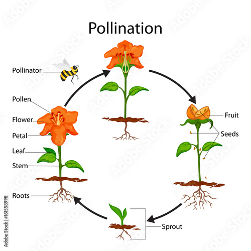 Education chart of biology for pollination process diagram stock education chart of biology for pollination process diagram ccuart Image collections