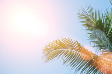 Evening sun shines through the coconut in the garden.