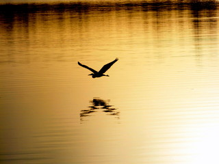 Bird flying low over lake with reflection