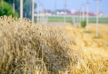 sunny wheat field