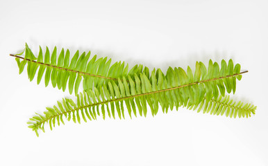 Fern leaves on the white screen
