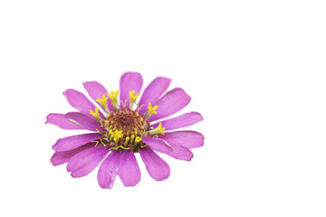 Pink cosmos flowers,Isolated on white