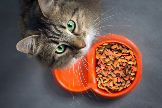 cat near a bowl with food looking up