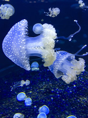 Australian spotted Jellyfish - Phyllorhiza Punctat.