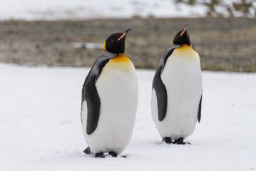 Fotobehang Pinguin King penguins