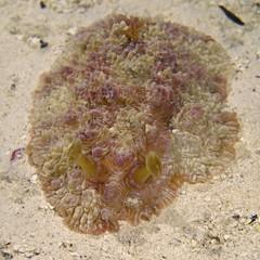 Dendrodoris Tuberculosa Nudibranch in Aldabra, remote UNESCO World Heritage Site in Indian Ocean