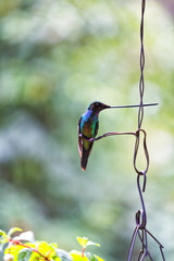 Portrait view of a long billed hummingbird posing on a wire in Tolima, Colombia.