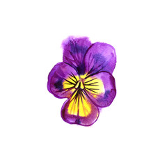Beautiful watercolor Pansy, hand-drawn illustration for your design.