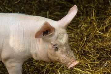 Schwein auf dem Biobauernhof