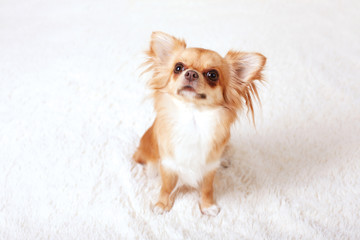 Cute redhead chihuahua fun looks at the camera