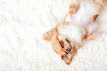 Cute ginger chihuahua asleep on a white carpet