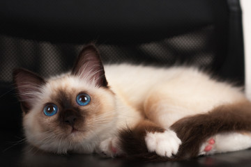 A seal point Birman cat, 4 month old kitten, male with blue eyes is  lying on the office chair