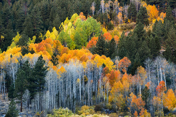 The full spectrum of fall colors are shown in a grove of aspen trees in Hope Valley, California.