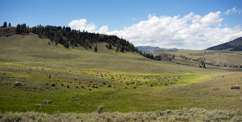 Buffalo Herd Lamar Valley Yellowstone National Park Bison