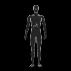 Human Stomach, Medical Illustration