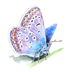 Copper-butterfly (Lycaenidae) realistic watercolor illustration on white background. Beautiful blue butterfly sitting on a grass.