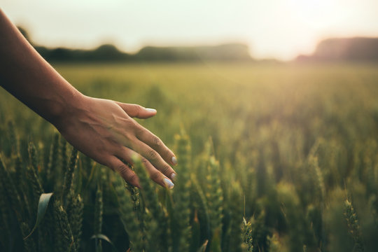 Female hand brushes barley in warm light