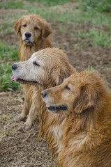 Three Wet Golden Retrievers
