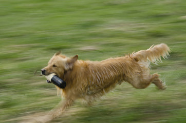 Blurred Golden Retriever Running with Training Dummy