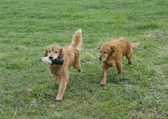 Golden Retrievers Chase the Training Dummy