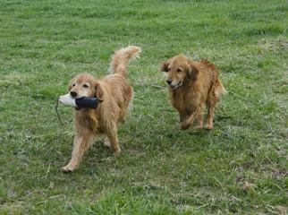 Retrievers Chase the Training Dummy