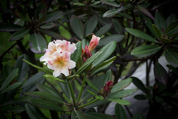 Rhododendron pink on the background of leaves