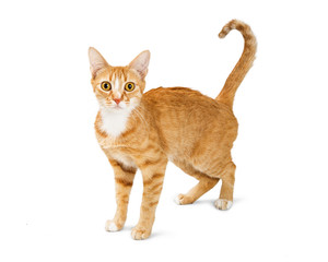 Orange Cat With Scared Look and Hunched Back