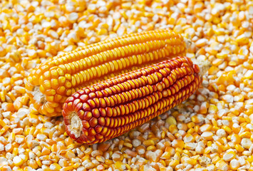 Close up of dry red and yellow corn on corn kernels