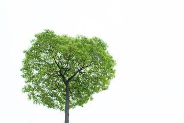 樹木 白バック