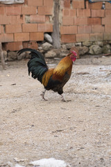 Rooster is playing in front yard of a country house in Turkey.