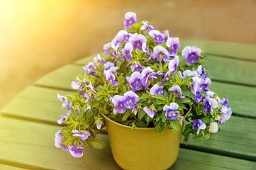 Pansies grow in a large yellow pot, standing on a green table in the street. The horizontal frame.