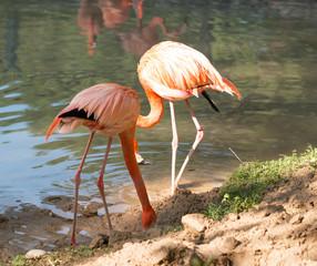Flamingo birds at the zoo