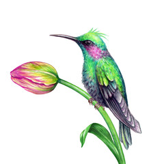 watercolor illustration, exotic nature, tropical flora and fauna, humming bird sitting on tulip flower, green leaf, isolated on white background