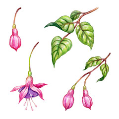 watercolor floral botanical illustration, green leaves, wild garden pink fuchsia flowers, design elements isolated on white  background