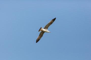 young yellow-legged gull (Larus michahellis) in flight blue sky
