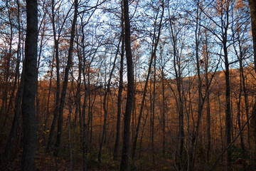 An autumnal view of many trees with countless orange leaves and skeletal trunks