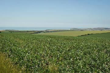 Broad Beans Bisopstone East Sussex