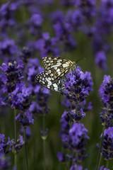 Papillons sur fleur de lavande