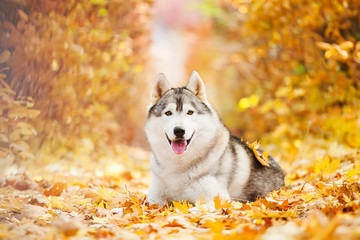 Siberian Husky lying in the yellow leaves