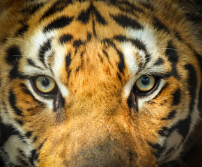close up tiger face portrait with eyes angry looking