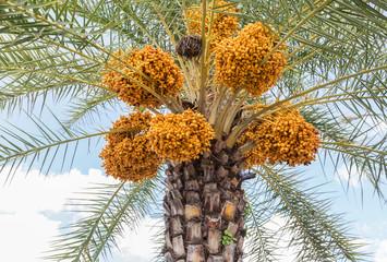 Close up  clusters yellow ripe dates (Phoenix dactylifera)hanging on date palm