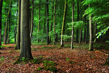 Dark beech forest with fallen leaves on the ground in mist, Herford, Germany