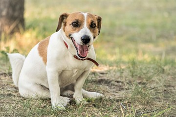 Jack Russell Terrier dog resting on grass in summer day