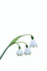 スズランスイセンの花言葉は、「純粋」「純潔」「汚れなき心」