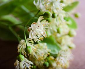 Blossom linden on wood background