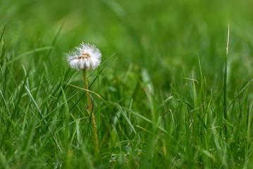 dandelion white flower fluffy close-up
