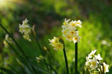 Spring beautiful daffodils.