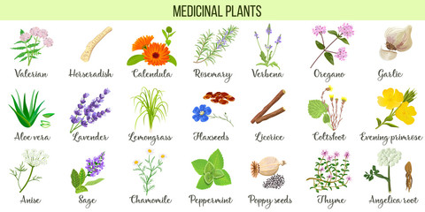 Big vector set of medicinal plants. Valerian, Aloe vera, lavender, peppermint, angelica root, Chamomile, verbena, anise