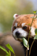 Fototapete - Red panda eating bamboo shoots. Cute animal image with copy space.