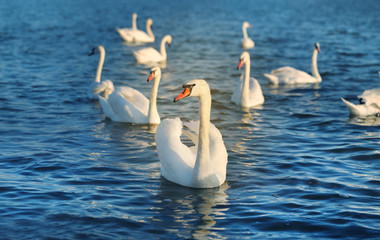 Foto op Textielframe Zwaan Photo of wonderful swans